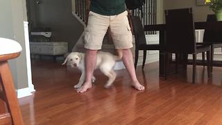 14-week-old Lab puppy shows off impressive tricks - Video