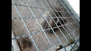 The porcupine in a park in Algeria
