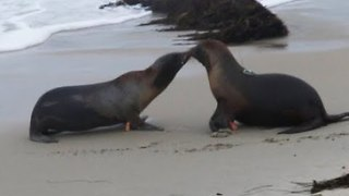 Sea Lions Share Kiss Before Returning to Ocean in California - Video