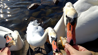 HUNGRY SWAN WALKS TO ME FOR FOOD  - Video