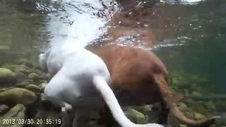 GoPro Captures Hilarious Underwater Footage of Dogs Chasing Sticks - Video