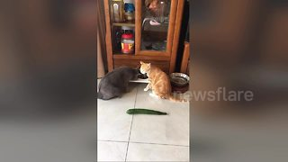 Confused cat leaps several feet away when scared by cucumber