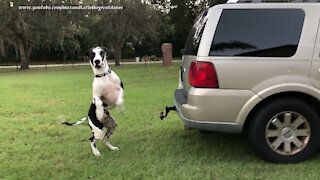 Bouncing Great Danes Enjoy Their First Playtime At Their New Home