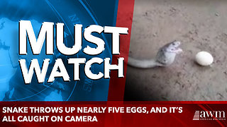 Snake throws up nearly five eggs, and it's all caught on camera - Video