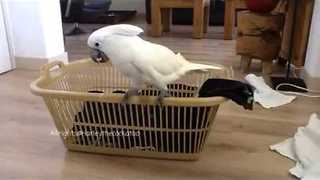 Cockatoo Is the Ultimate Laundry Assistant - Video