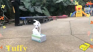 Jack Russell puppy learns how to fetch a tissue over and over again