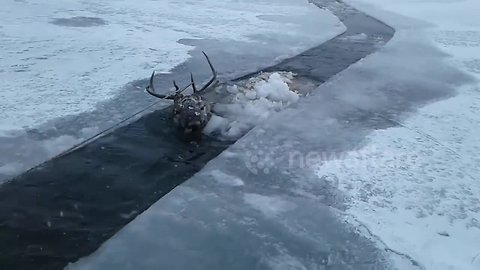 Heartwarming rescue of red deer from frozen Siberian river