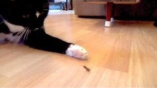 Cat Shows No Mercy to Helpless Centipede - Video
