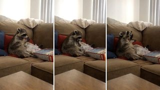 Hungry raccoon lives his best life by eating cereal out of box on sofa