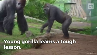 Young gorilla learns a tough lesson - Video
