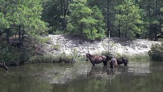 Wild horses cool off in North Carolina canal - Video