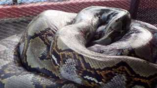 Man eaten by a 23 foot python