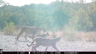 Rare footage captures mountain lion with two kittens.