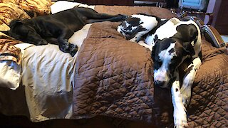 Here's why Great Danes need a king sized bed