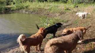 Daycare Dogs Play at Local Swimming Hole - Video