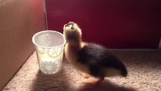 Duckling adorably falls into cup of water