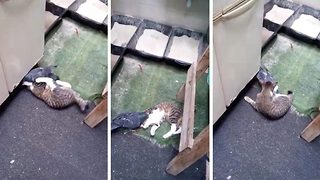 Plucky escape? Cat and pigeon filmed playing with one another  - Video