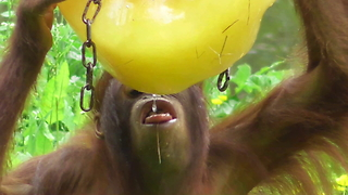 Orangutan youngster goes totally  ape over popsicle - Video