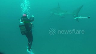 Great white shark circles divers in incredible close encounter