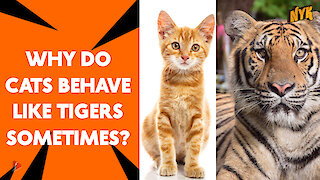 What Similarities Do Cats and Tigers Have? *
