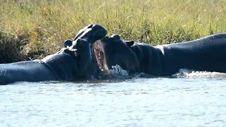 Hippo's fight over who home's who's - Video