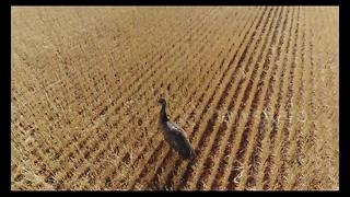 Stunning drone footage shows emus grazing in Australia - Video