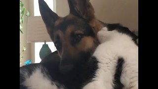 Big Dog and Small Cat Bond Like Best Buds - Video