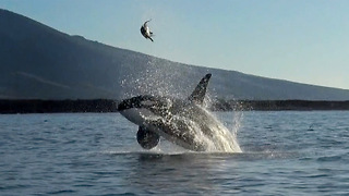 Rare Moment Orca Plays With A Turtle... Or Food? - Video