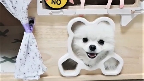 Pomeranian performs incredibly adorable trick