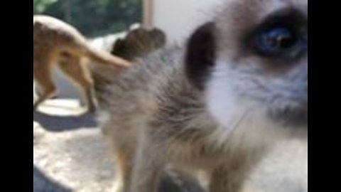 Curious Baby Meerkats Investigate Camera at Adelaide Zoo