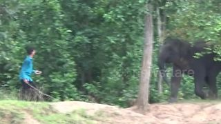 Brave farmer chases away charging elephant with just a stick - Video