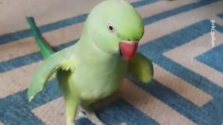 Talking parrot plays cute game with owner - Video