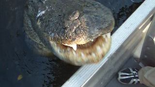 Giant Alligator Attacks Camera | Scary Moment Caught on Camera