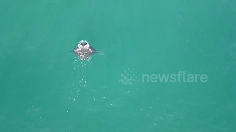 Graceful manta ray captured by aerial drone camera off Queensland coast