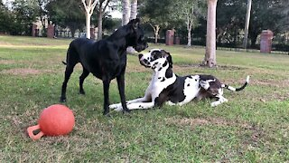 Funny Great Danes can't decide if they should dig or play