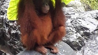 Clever Orangutan Mom Uses Caladium Leaf As Umbrella To Protect Offspring From Heavy Rain - Video