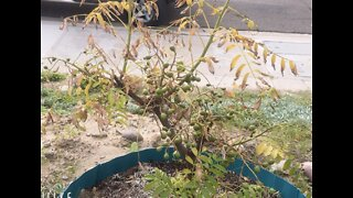 Caught on video: thief steals rare fruit tree