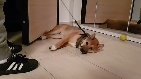 Stubborn Puppy Refuses To Get Up For An Evening Walk