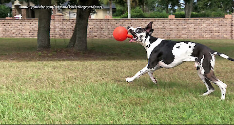 Funny Great Dane Amuses Himself Kicking His Jolly Ball