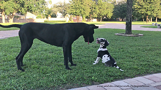 Great Dane Loves Playing With 8 Week Old Puppy  - Video