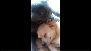 Cat adopts dog, gives it a bath - Video