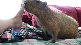 Cuddly Capybara Loves Being Scratched - Video