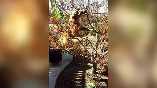 Dog Jumps Into A Tree To Get A Ball - Video