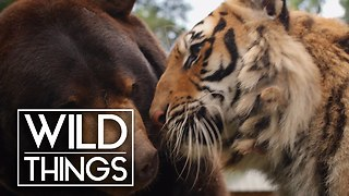 Bear, Tiger And Lion Make The Perfect Story Of An Unusual Friendship