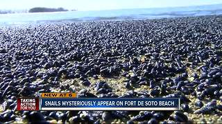 Millions of snails wash up on Fort De Soto Beach - Video