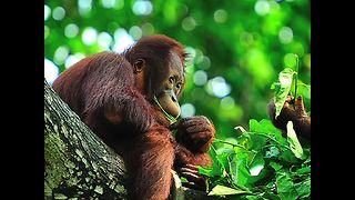 Adorable Orangutan Facts - Video