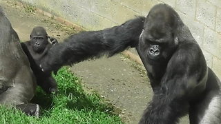 Silverback Gorilla Exercises Dominance But Slips And Embarrasses Himself  - Video
