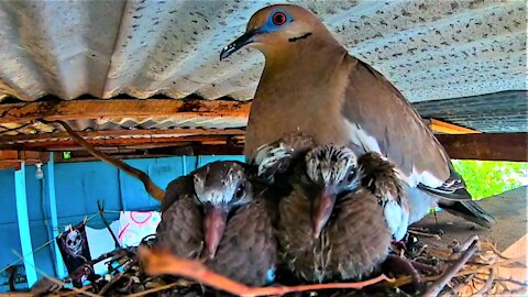 Beautiful dove makes a nest for her babies over family patio