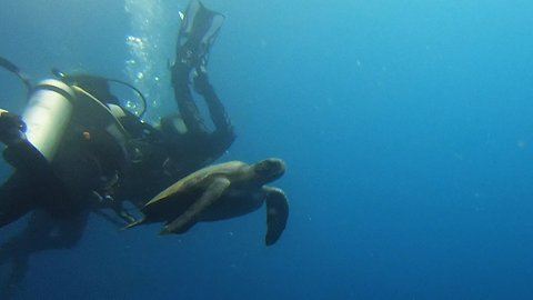 Sea turtle casually swims through group of scuba divers