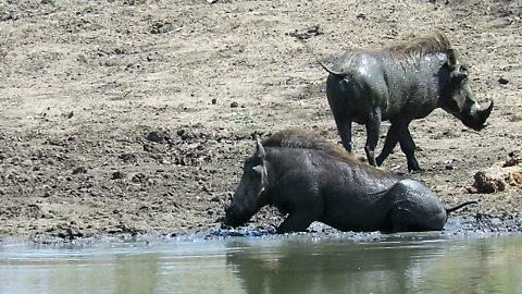 Jolly warthogs love their muddy bum scratch